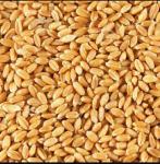 Wheat Sihor (सिहोर गहू)