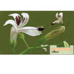 Perennial Natural Herbal Andrographis Paniculata Extracts
