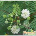 Perennial Acacia Catechu Extract
