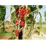 Perennial Tinospora Cordifolia Extract