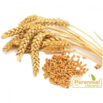 Perennail Natural Wheat Grass Extract