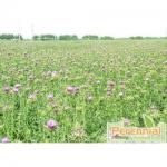 Perennial Silymarin Extract